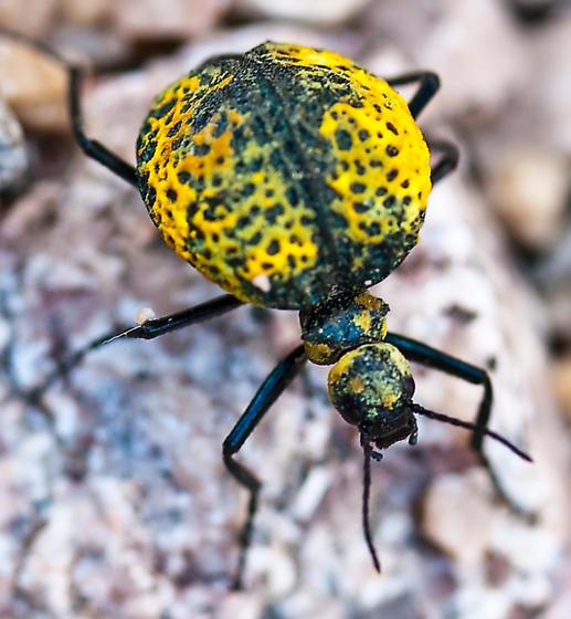 Yellow.Orange Unknown Bug - Cysteodemus armatus