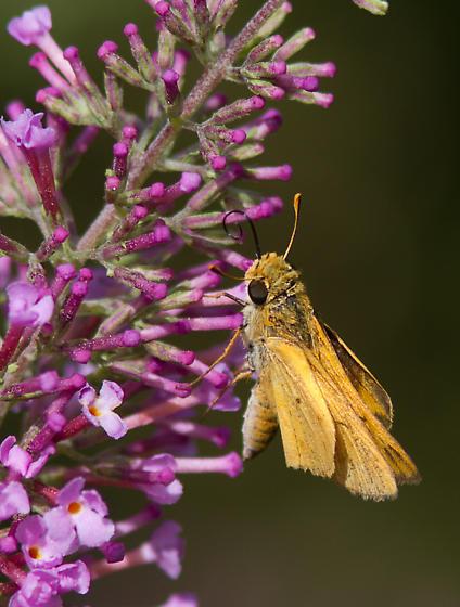 Unkown butterfly - Hylephila phyleus