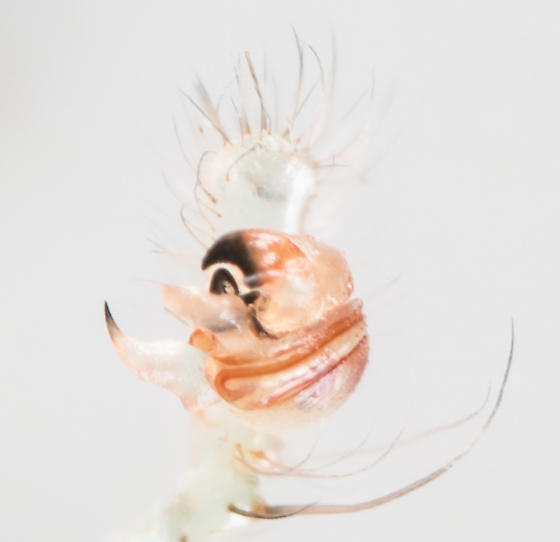 Araneus cingulatus - male