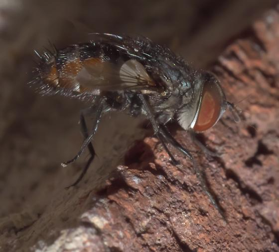Black and brown, hairy fly - Winthemia