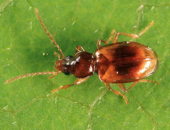 Carabid - Tachys rhodeanus