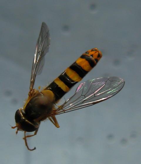 Hymenoptera - Sphaerophoria philanthus