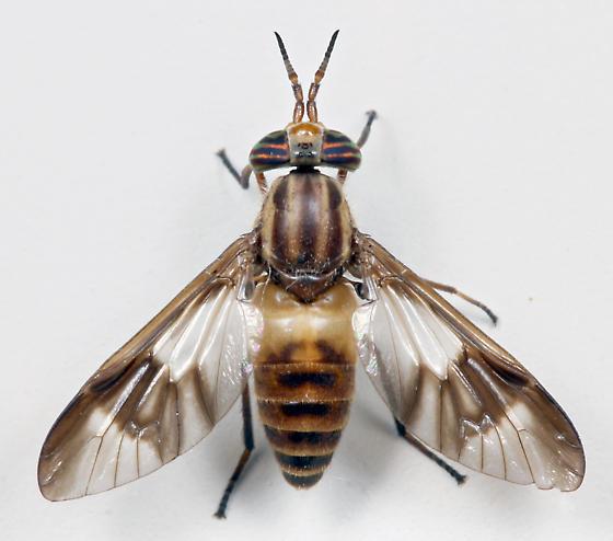 BG1656 E1789 - Chrysops reicherti - female