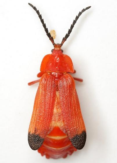 Lycus sanguineus Gorham - Lycus sanguineus