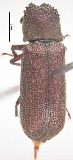 Heterobostrychus brunneus - female