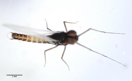 midge - Baetis bicaudatus - male