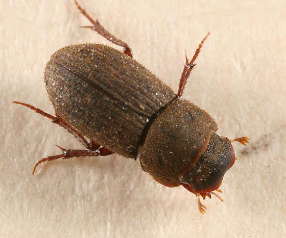 Dung Beetle - Ataenius imbricatus