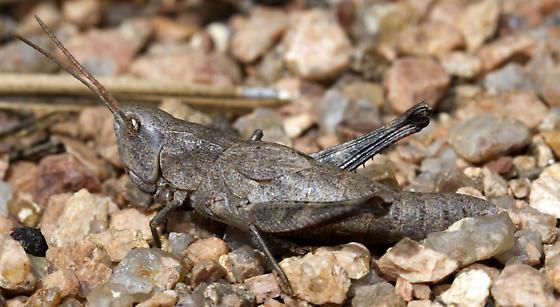 Thomas's Broad-winged Grasshopper - Chloealtis abdominalis - female
