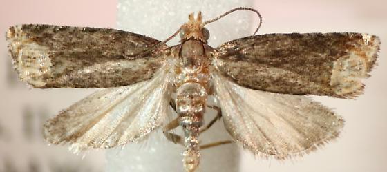 Eucosma ochroterminana - male