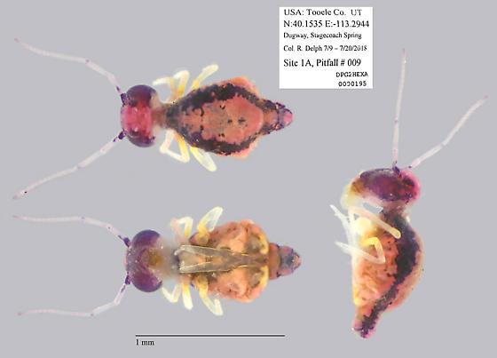 Sminthuridae - Sminthurus butcheri