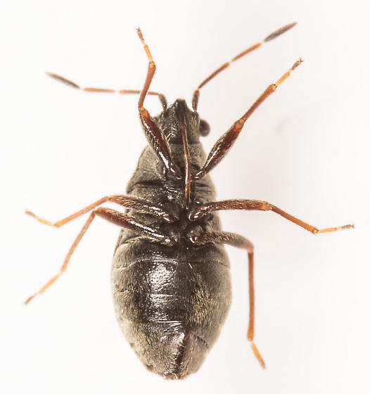 Bug - Stygnocoris rusticus - female