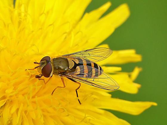 Parasyrphus nigritarsis??? - Syrphus - female