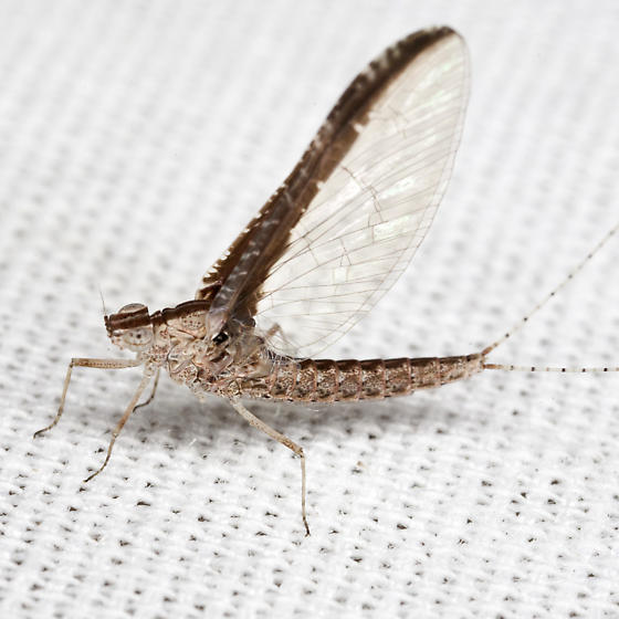 Small Minnow Mayfly - Callibaetis fluctuans - female