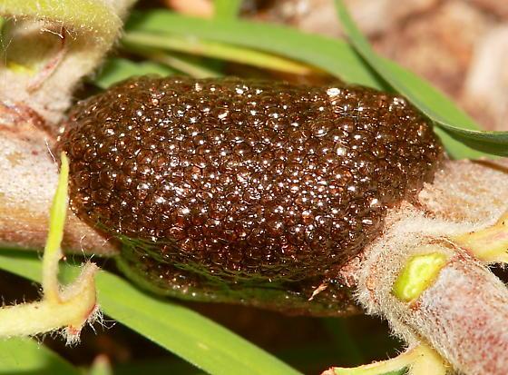 Egg Case - Malacosoma americana