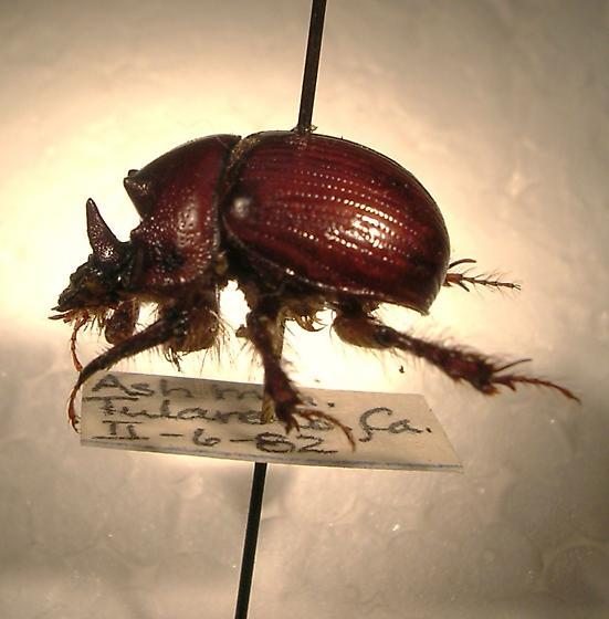 Bolbelasmus hornii - male