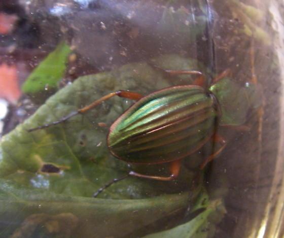 iridecent beetle - Carabus auratus