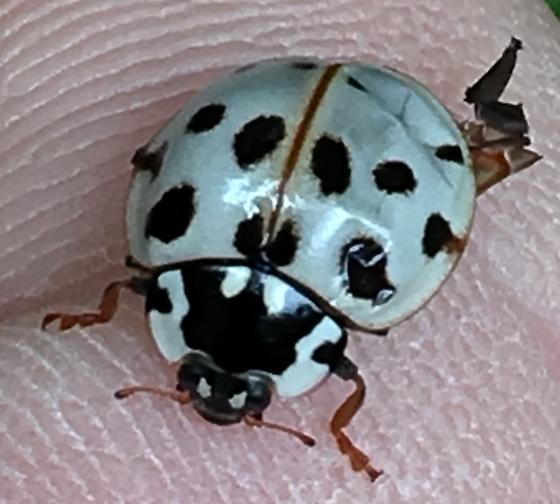 White Ladybug - Anatis labiculata