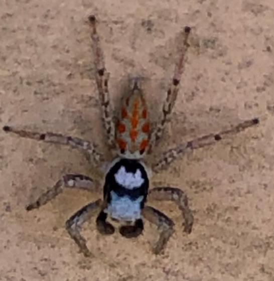 spider - Paramaevia poultoni