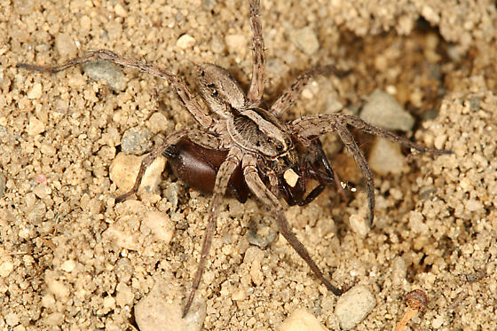 What Do Wolf Spiders Eat >> Wolf Spider Eating Another Spider Schizocosa Bugguide Net