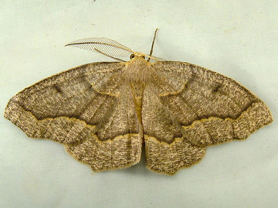 1911 Lambdina fiscellaria - Hemlock Looper 6888 - Lambdina fiscellaria - male