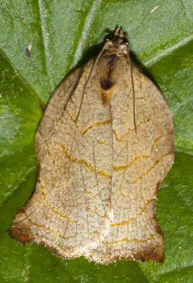 Tortricidae - Archips purpurana