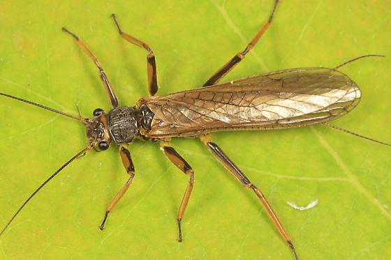 stonefly - Agnetina capitata - male
