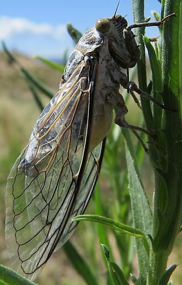 Cicada: cactus dodger? - Hadoa bifida