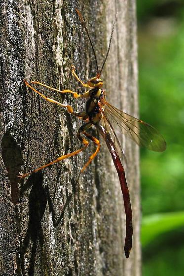 Large Ichneumonoid Wasp? - Megarhyssa atrata