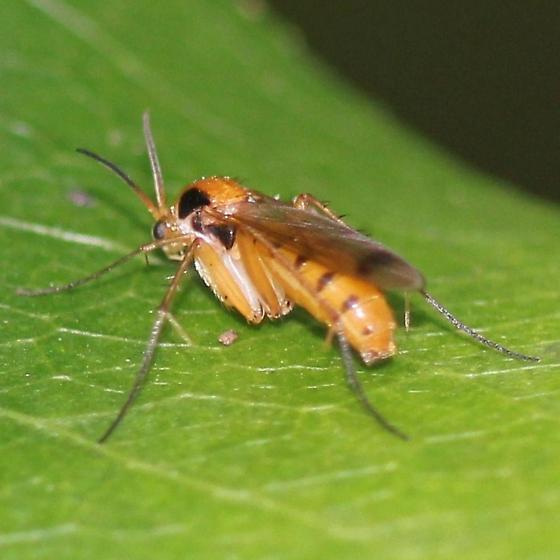 Fungus Gnat - Posterior Dorsal - Leia