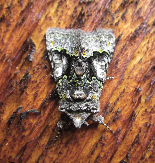 Moth that looks like Lichen - Behrensia conchiformis