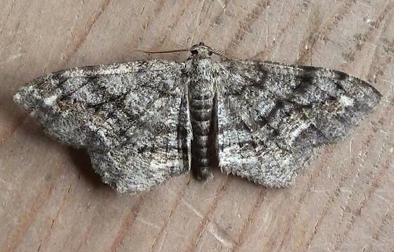 Geometridae: Hypagyrtis unipunctata - Hypagyrtis unipunctata - male