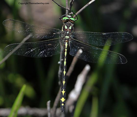 Dragonfly - Cordulegaster obliqua - male