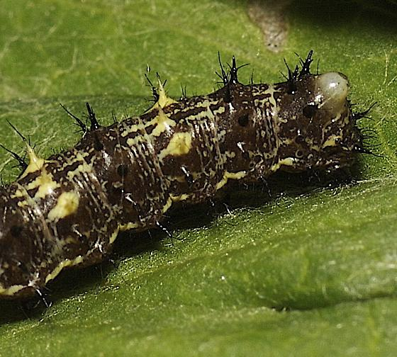 Painted Lady Caterpillars - Vanessa cardui