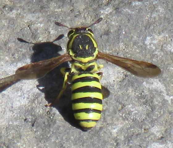 Pollen wasp - Pseudomasaris? - Pseudomasaris edwardsii