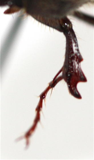 Scarab - Phyllophaga crenulata - male