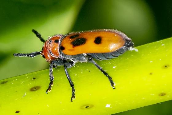 red milkweed bug