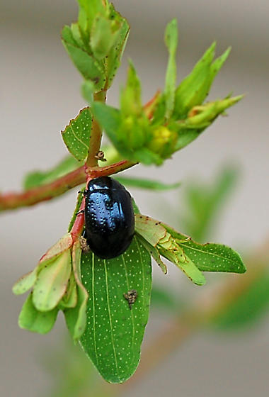 Dark, metallic beetle - Chrysolina