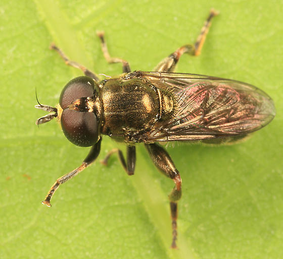 syrphid fly - Eumerus - male