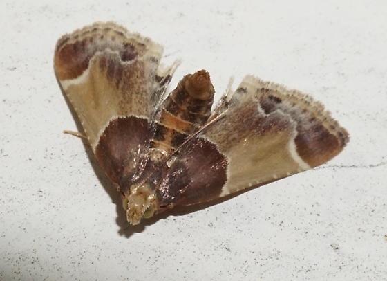 meal moth? - Pyralis farinalis