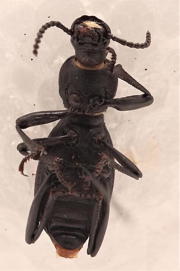 Tenebrionidae - Cerenopus concolor