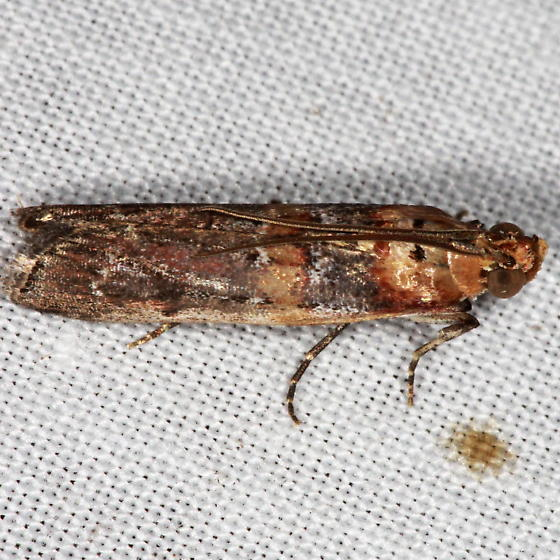 Adelphia petrella