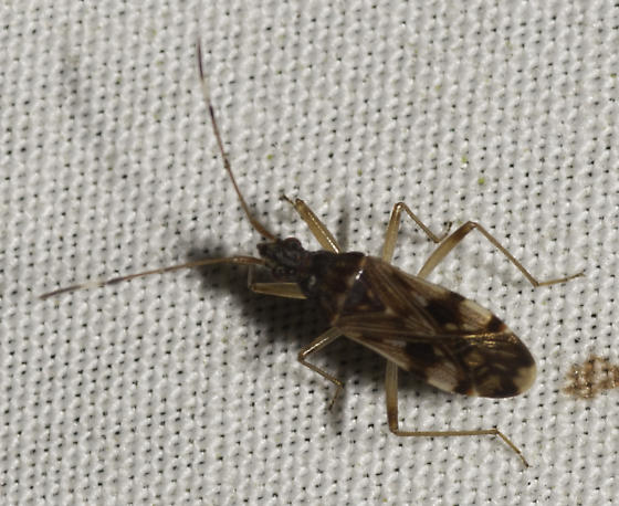 some true bugs from Dirk's place - Ozophora picturata
