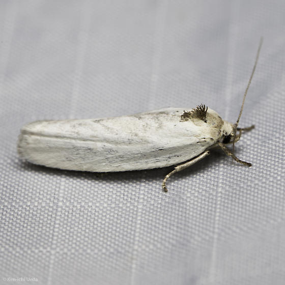 Unknown White Moth from the Sierra Nevada - Antaeotricha