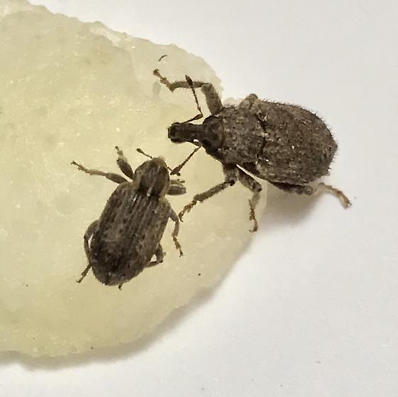 Weevils with pear