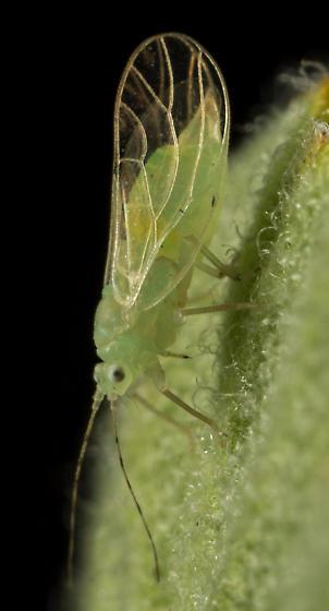 Mountain Mahogany Psyllid - Pexopsylla cercocarpi - female