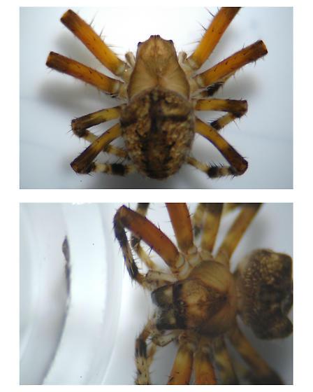 spider 227 - Araneus - female