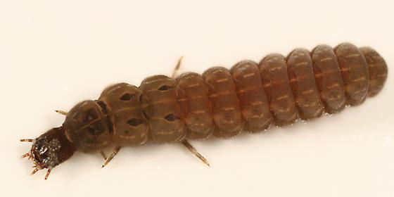 soldier beetle larva
