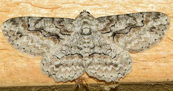 moth022317d - Iridopsis defectaria