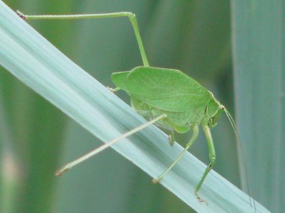 Grasshopper looks like a leaf - Scudderia pistillata - female