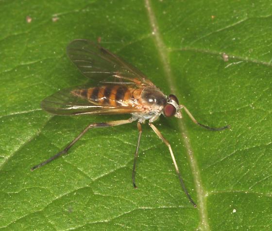 Rhagionidae - Rhagio